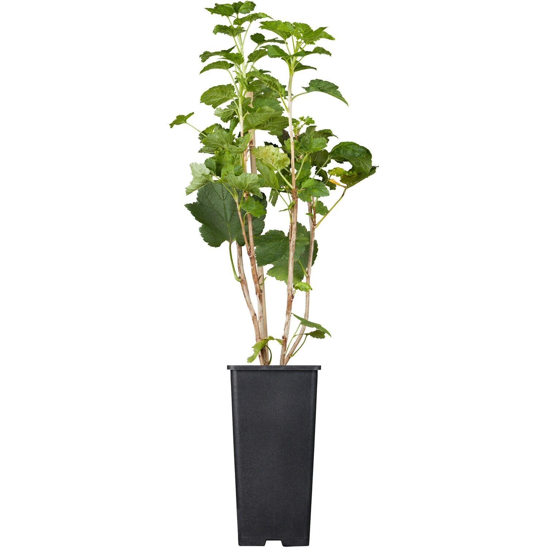 OBI Johannisbeere Jonkheer van Tets Rot Höhe ca. 20 - 30 cm Topf ca. 2 l Ribes