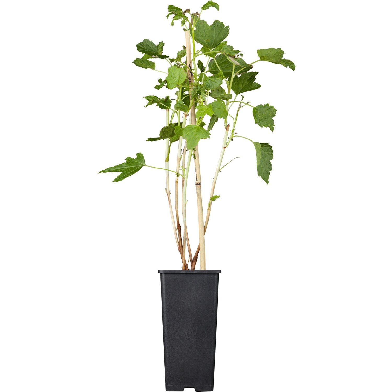 OBI Johannisbeere Titania Schwarz Höhe ca. 20 - 30 cm Topf ca. 2 l Ribes