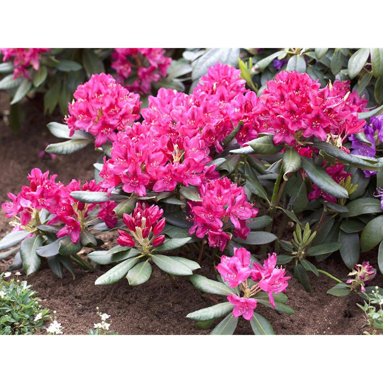 Rhododendron Nova Zembla Rot Höhe ca. 50 - 60 c...