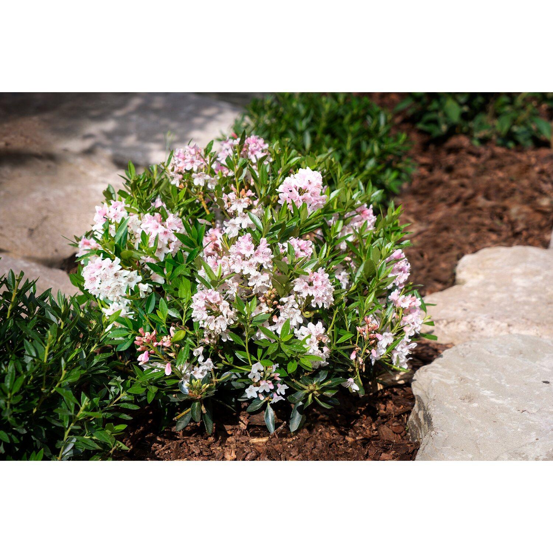 Rhododendron Bloombux Rosa Höhe Ca 5 10 Cm Topf Ca 2 L