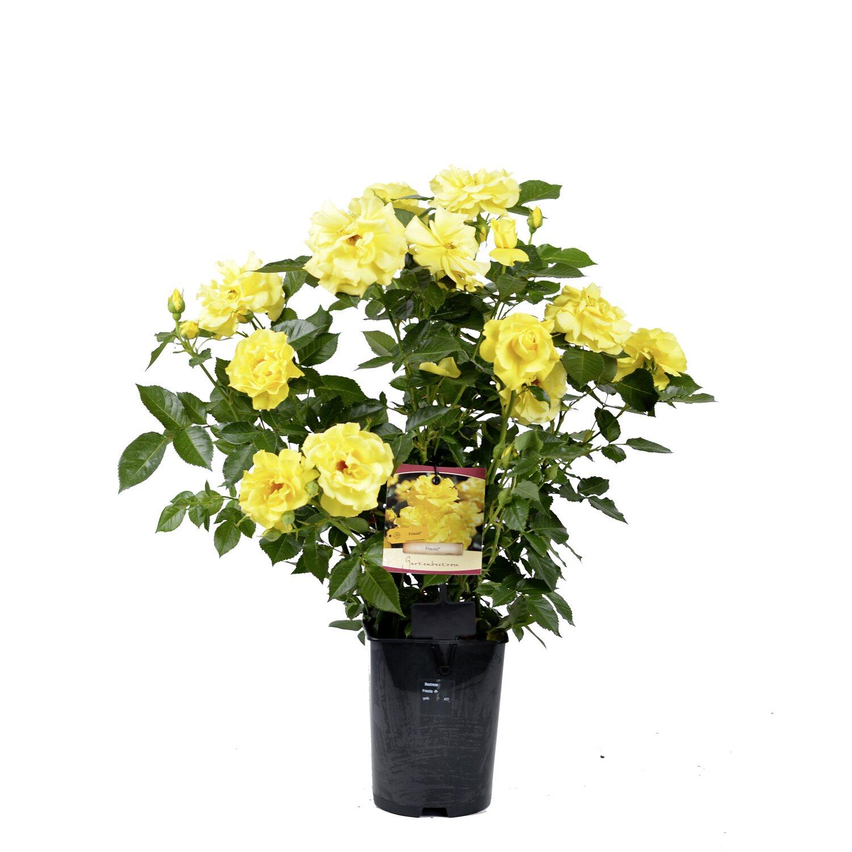 obi beetrosen verschiedene sorten gelb h he ca 10 15 cm topf ca 2 l rose kaufen bei obi. Black Bedroom Furniture Sets. Home Design Ideas