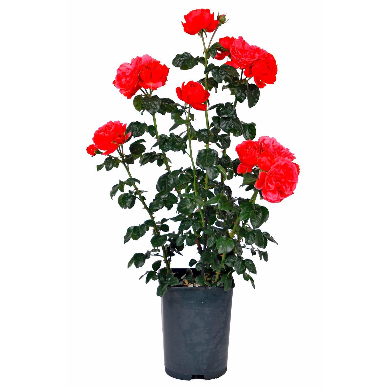 Ganz und zu Extrem OBI Duftrosen verschiedene Sorten Rot Höhe ca. 10 - 15 cm Topf ca @YO_18