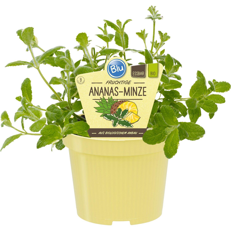 Blu  Bio-Ananas-Minze Bowles Topf-Ø ca. 12 cm Mentha