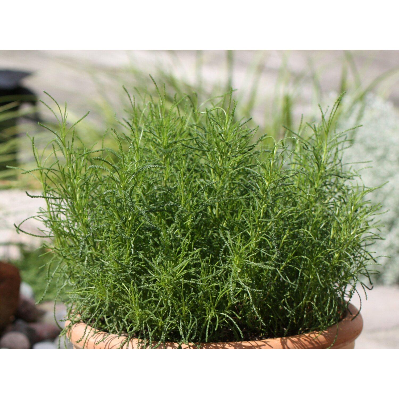 blu bio olivenkraut topf ca 12 cm santolina kaufen bei obi. Black Bedroom Furniture Sets. Home Design Ideas