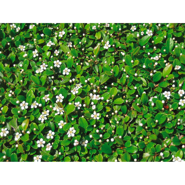 Kleinblättrige Teppichmispel Frieders Evergreen...