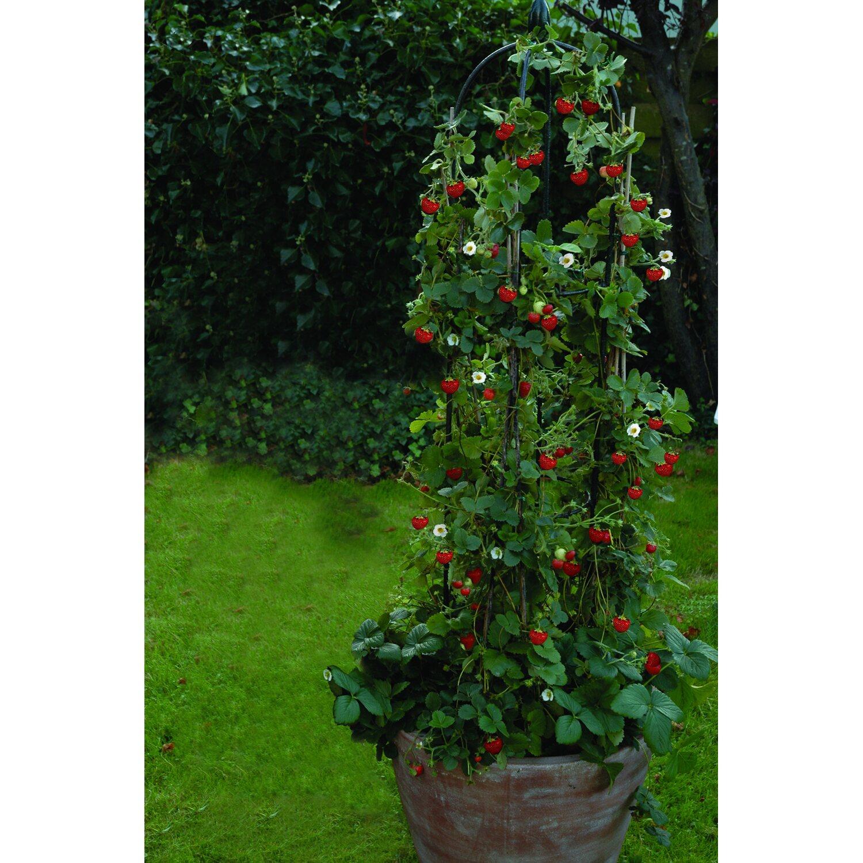 hummi erdbeere klettertoni topf ca 9 cm fragaria ananassa kaufen bei obi. Black Bedroom Furniture Sets. Home Design Ideas