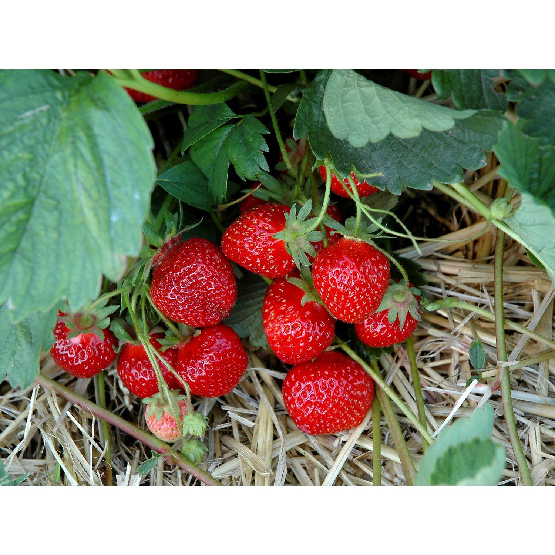 "im 9cm Topf Pflanze Erdbeere /""Ostara/"""