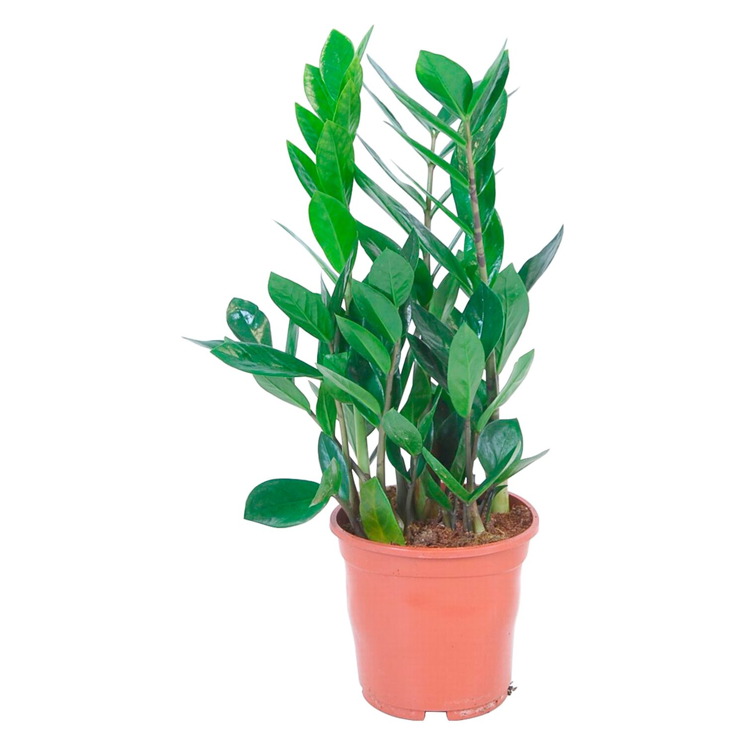 zamioculcas topf ca 14 cm zamioculcas zamiifolia kaufen bei obi. Black Bedroom Furniture Sets. Home Design Ideas