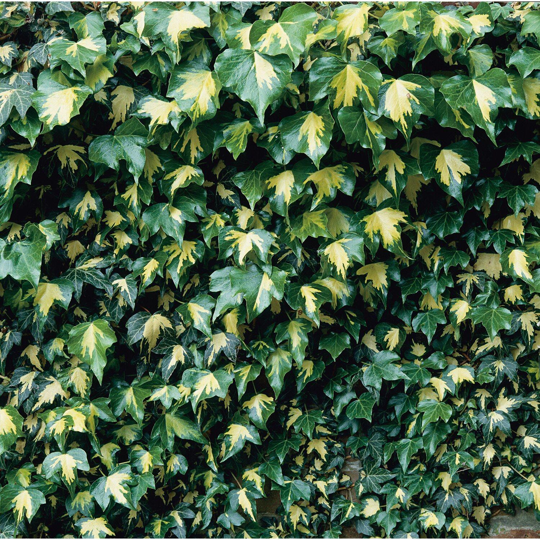 Grossblattriger Irischer Efeu Gelb Grun Hohe Ca 100 120 Cm Topf