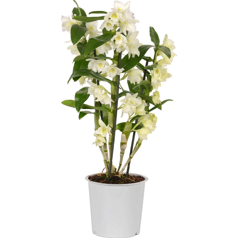 bambusorchidee nobilee 1 trieber wei topf ca 15 cm. Black Bedroom Furniture Sets. Home Design Ideas