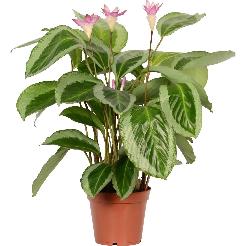 Korbmarante bicajoux gecko topf ca 17 cm calathea for Zimmerpflanzen dekorativ