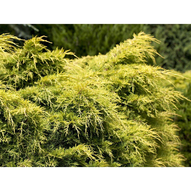 OBI Chinesischer Wacholder Golden Saucer Höhe ca. 5-10 cm Topf ca.2l Juniperus