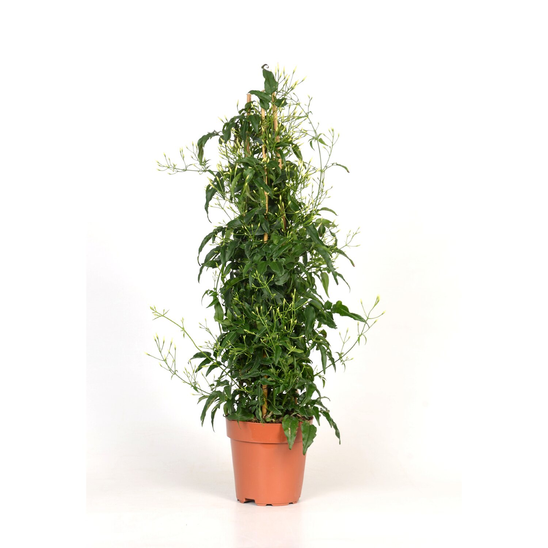 jasmin jasminum polyanthum topf ca 12 cm kaufen bei obi. Black Bedroom Furniture Sets. Home Design Ideas