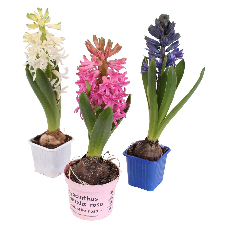 hyazinthe verschiedene farben topf ca 7 cm hyacinthus kaufen bei obi. Black Bedroom Furniture Sets. Home Design Ideas