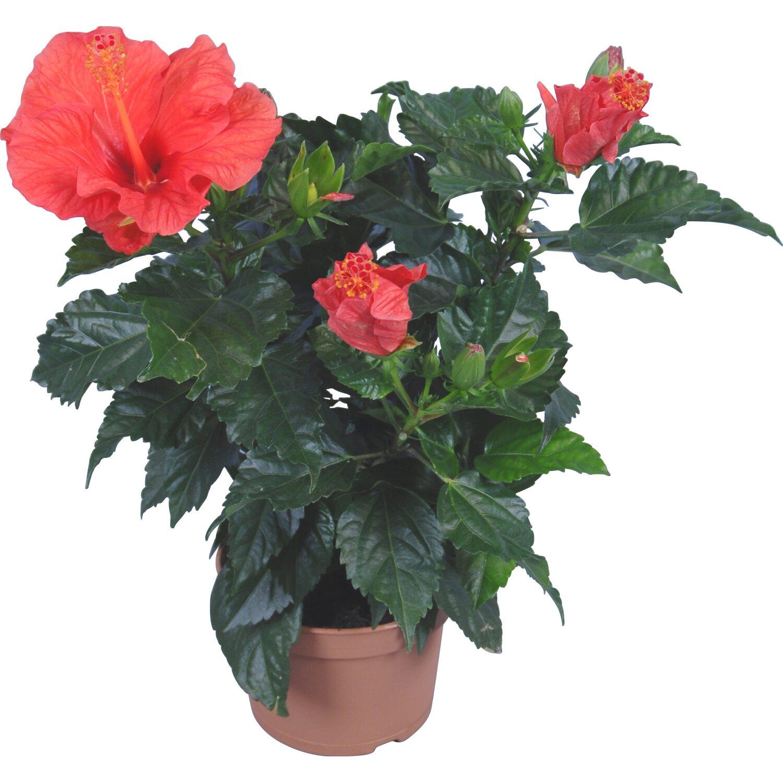 roseneibisch hawaii mix topf ca 13 cm hibiscus rosa sinensis kaufen bei obi. Black Bedroom Furniture Sets. Home Design Ideas