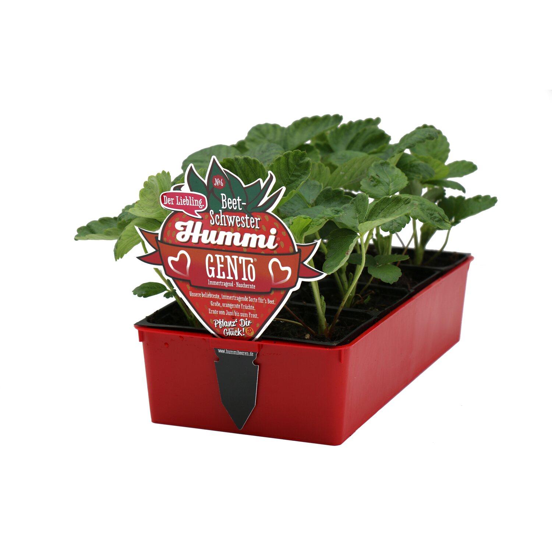 erdbeerpflanzen kaufen junitragende erdbeerpflanzen kaufen bei erdbeeren selbst anbauen tee. Black Bedroom Furniture Sets. Home Design Ideas
