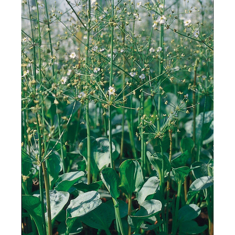 Teichpflanzen Online Kaufen Bei OBI
