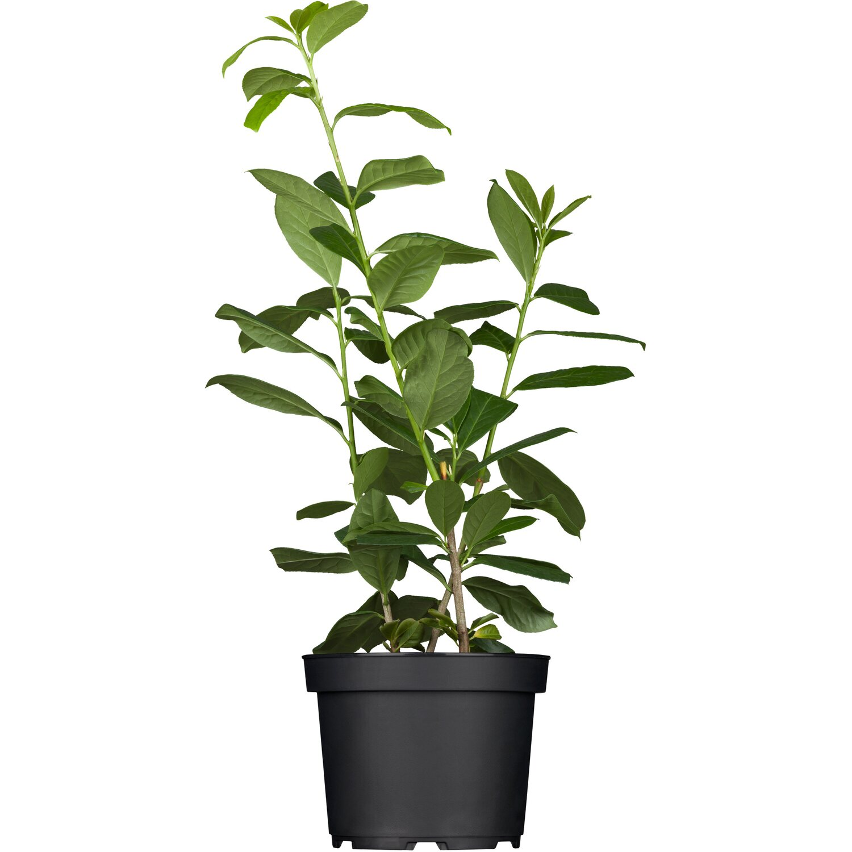 kirschlorbeer etna h he ca 60 80 cm topf ca 7 l prunus kaufen bei obi. Black Bedroom Furniture Sets. Home Design Ideas