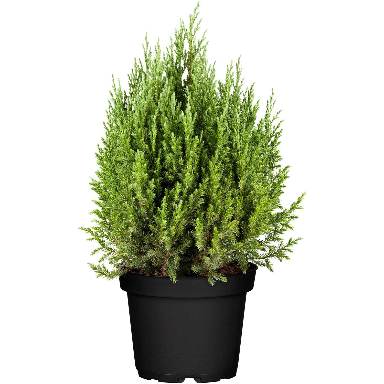 Kegel-Mooswacholder Stricta Blau Höhe ca. 10 - 20 cm Topf ca. 2 l Juniperus