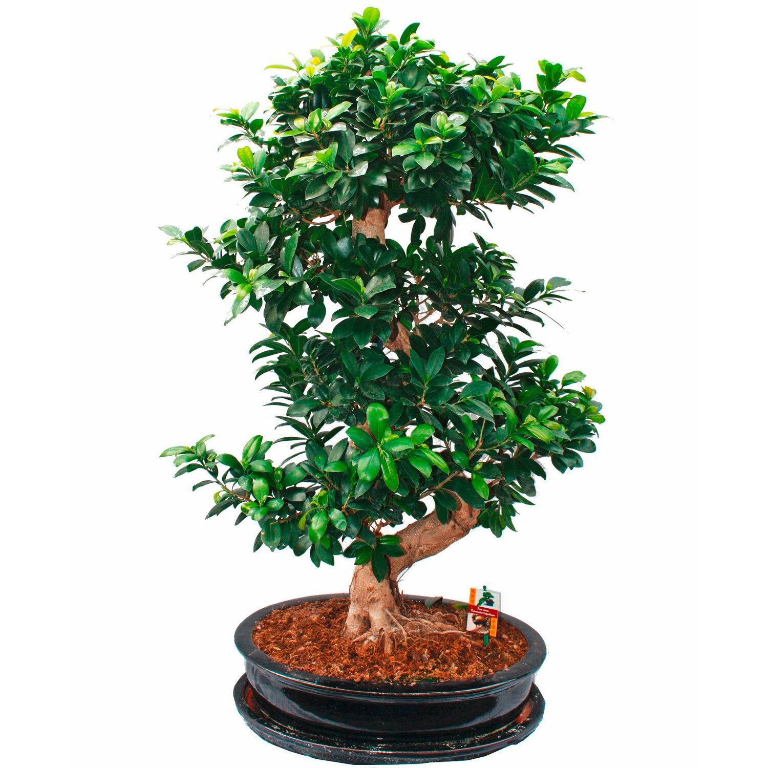 bonsai thai ficus topf ca 45 cm ficus microcarpa kaufen. Black Bedroom Furniture Sets. Home Design Ideas