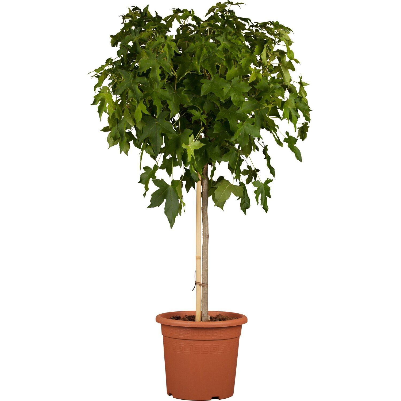 kugel amberbaum gum ball h he ca 140 160 cm topf ca. Black Bedroom Furniture Sets. Home Design Ideas