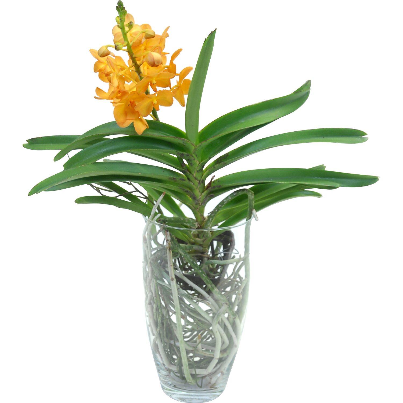 orchidee vanda im glas
