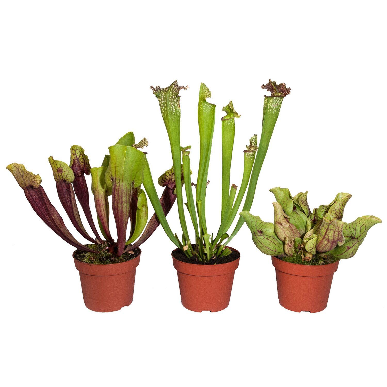 Schlauchpflanze topf ca 12 cm kaufen bei obi for Fliegen zimmerpflanzen