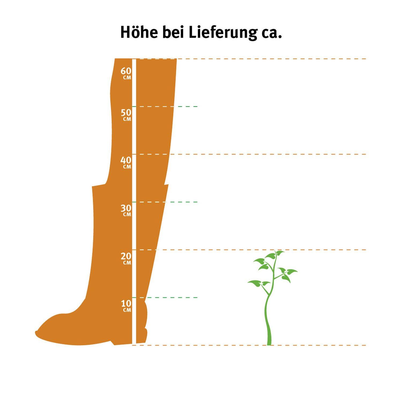 Sonstige 6er-Set Bohnenkraut Topf-Ø ca. 11 cm Satureja