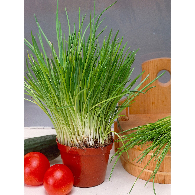 Sonstige 6er-Set Schnittlauch Topf-Ø ca. 11 cm Allium