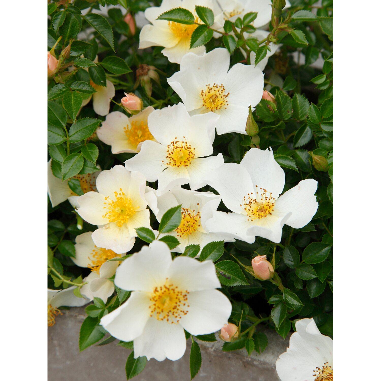 kordes zwergrose sonnenr schen wei h he ca 20 30 cm topf ca 5 l rosa kaufen bei obi. Black Bedroom Furniture Sets. Home Design Ideas