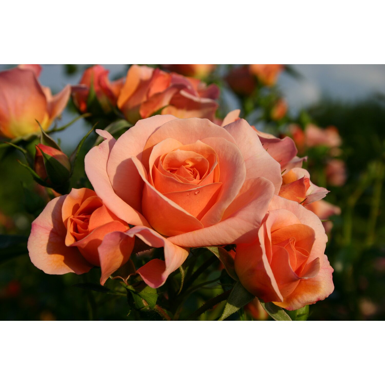 kordes beetrose aprikola apricot h he ca 40 50 cm topf ca 5 l rosa kaufen bei obi. Black Bedroom Furniture Sets. Home Design Ideas