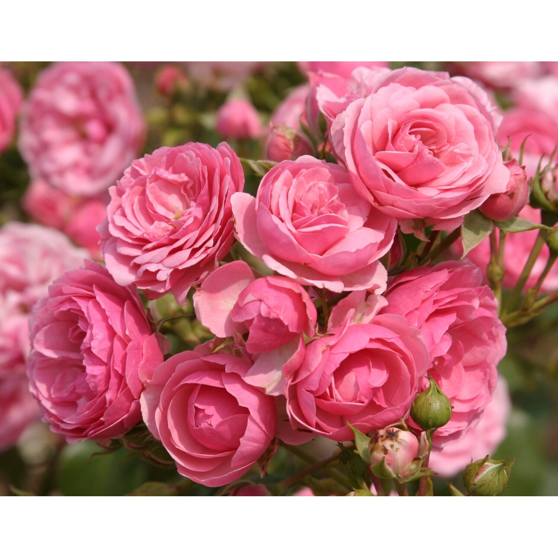 kordes beetrose pomponella rosa h he ca 40 50 cm topf ca 5 l rosa kaufen bei obi. Black Bedroom Furniture Sets. Home Design Ideas