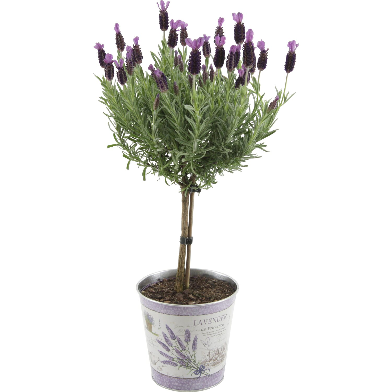 Lavendel anouk stamm in zink topf ca 15 cm lavandula - Duftende gartenpflanze ...