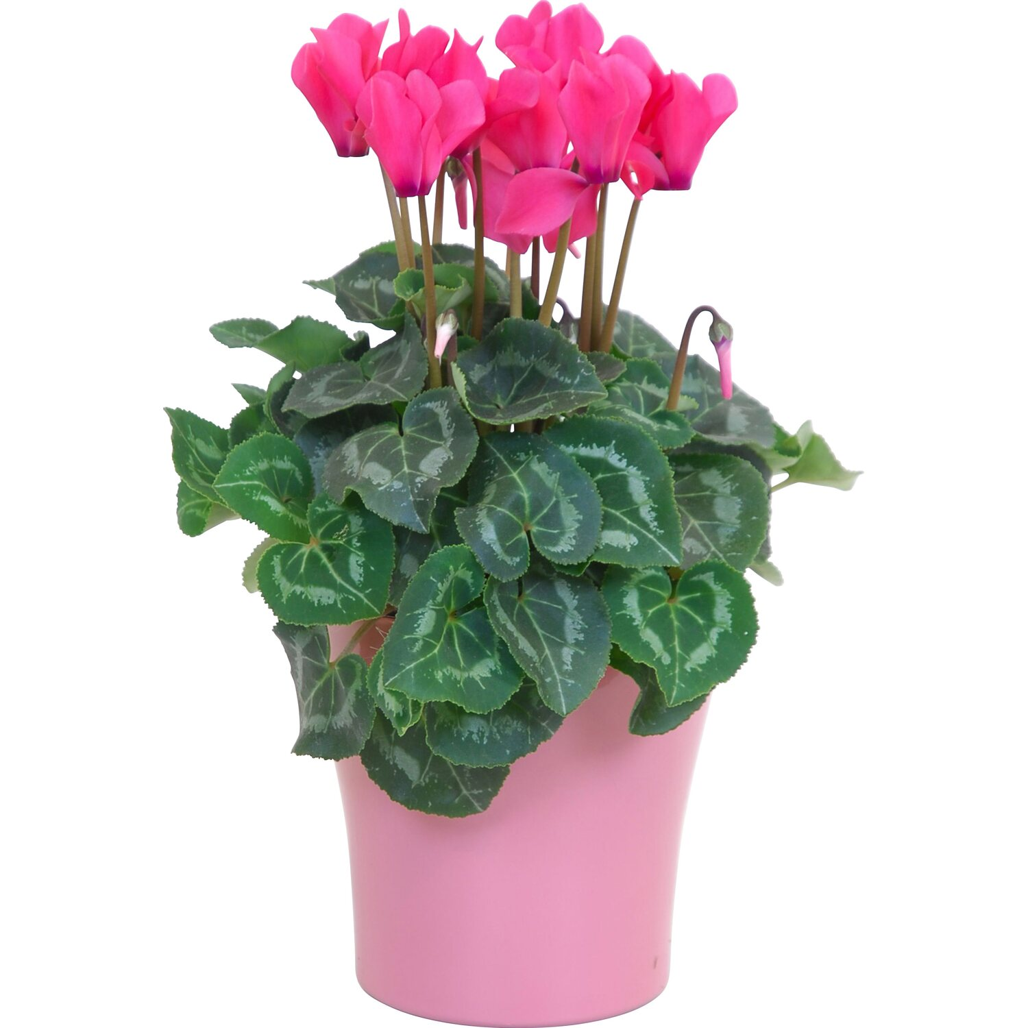 alpenveilchen midi gro bl tig topf ca 12 cm cyclamen. Black Bedroom Furniture Sets. Home Design Ideas