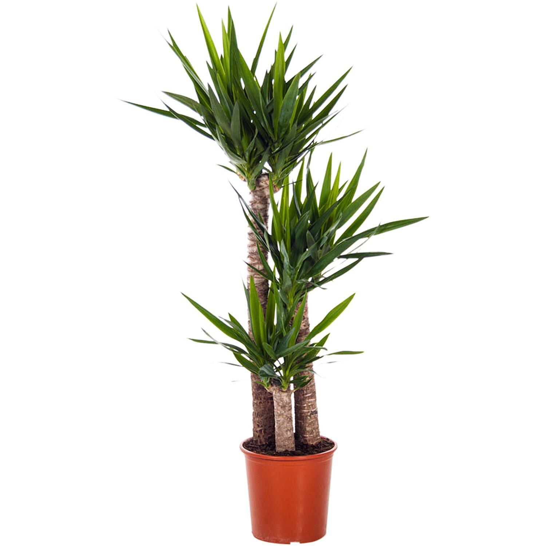 Bevorzugt Palmlilie 3 Stämme Höhe 170 - 180 cm Topf-Ø ca. 32 cm Yucca RG42