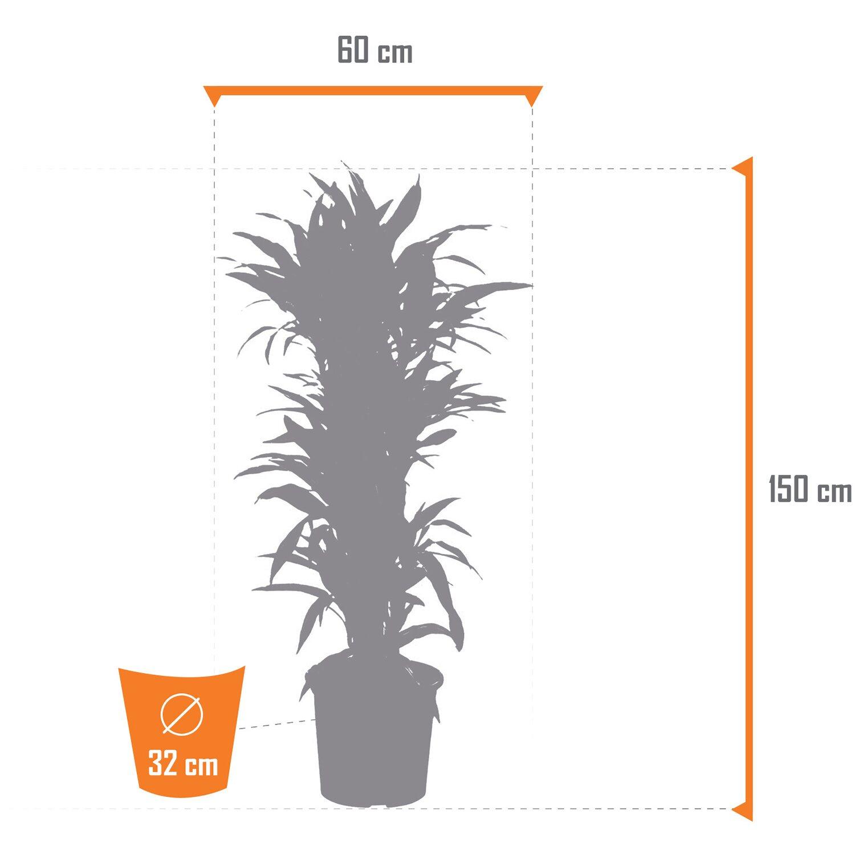 32 cm Dracaena DrachenbaumWarneckii verzweigt H/öhe 150-160 cm Topf-/Ø ca