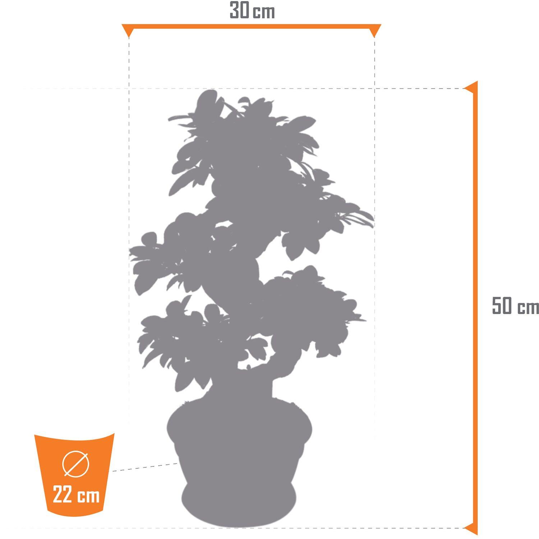 Zimmer Bonsai Ficus Ginseng S Form Höhe Ca 50 55 Cm Topf ø Ca