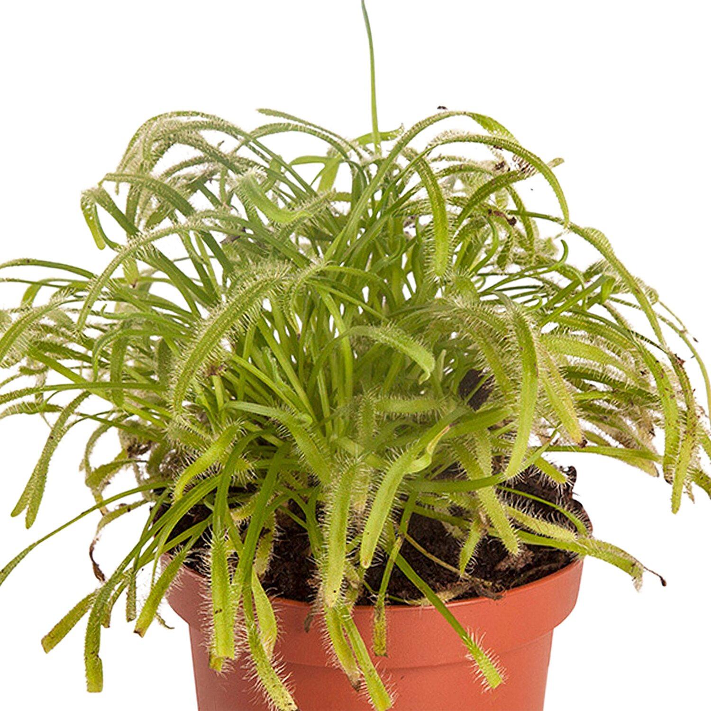 Außergewöhnlich Fleischfressende Pflanzen Mix 3 Pflanzen Höhe 10 - 20 cm Topf-Ø ca @OS_81