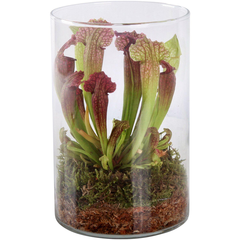 Glasvase Ø 13 cm Höhe ca. 21 cm mit Schlauchpflanze Sarracenia Venosa Preisvergleich