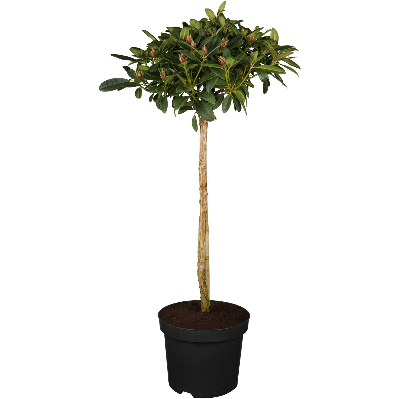 obi alpenrose kerstine rosa h he ca 20 30 cm topf ca 3 l rhododendron kaufen bei obi. Black Bedroom Furniture Sets. Home Design Ideas