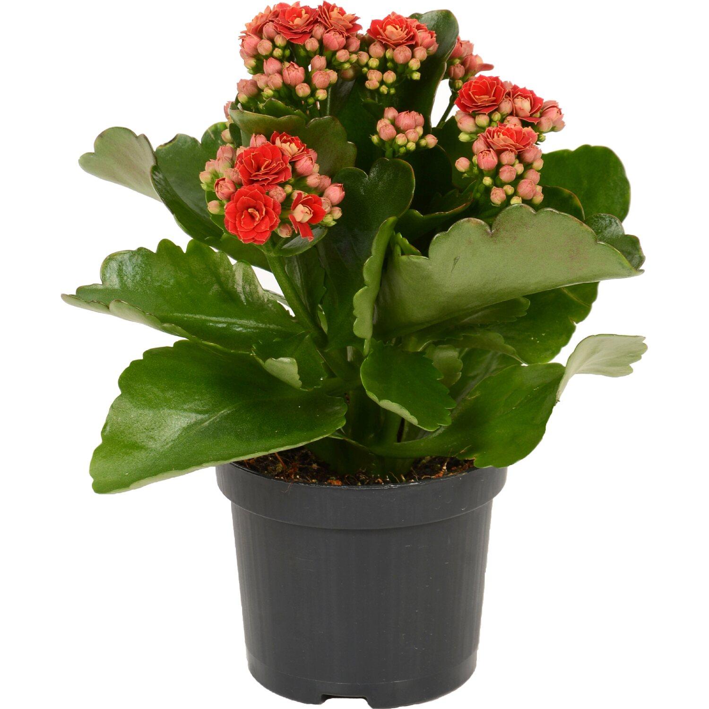 Zimmerpflanzen Online Kaufen Bei Obi Obi De