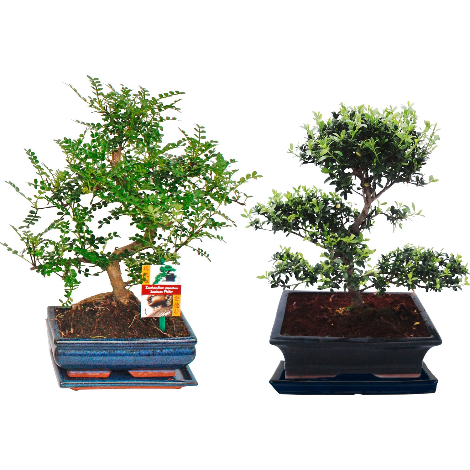bonsai baum pflege ficus ginseng als bonsai bonsai fr einsteger die birkenfeige ficus wie. Black Bedroom Furniture Sets. Home Design Ideas