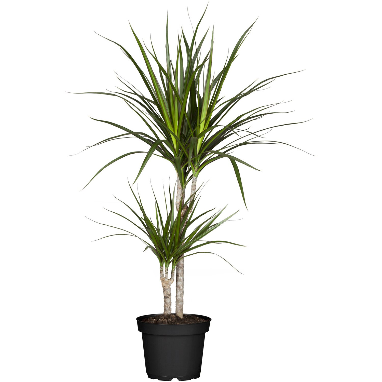 Drachenbaum 2er Stamm Topf O Ca 17 Cm Dracaena Marginata Kaufen Bei Obi