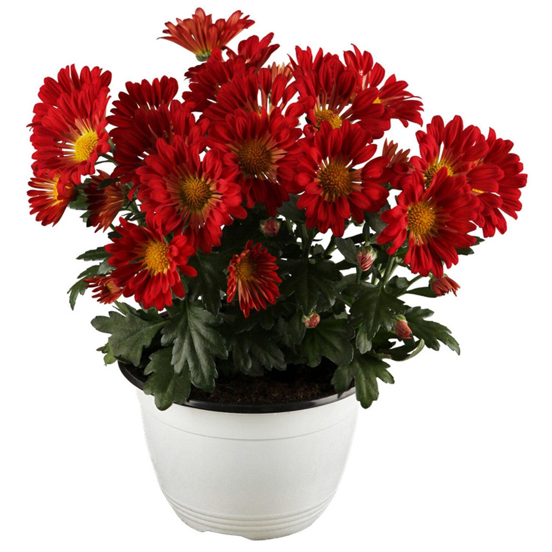 Garten-Margerite Robinsons Rot Topf-Ø ca. 9 cm x 9 cm Tanacetum
