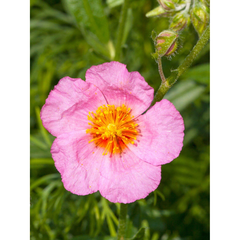 obi garten sonnenr schen lawrenson s pink rosa topf ca 9 cm x 9 cm kaufen bei obi. Black Bedroom Furniture Sets. Home Design Ideas