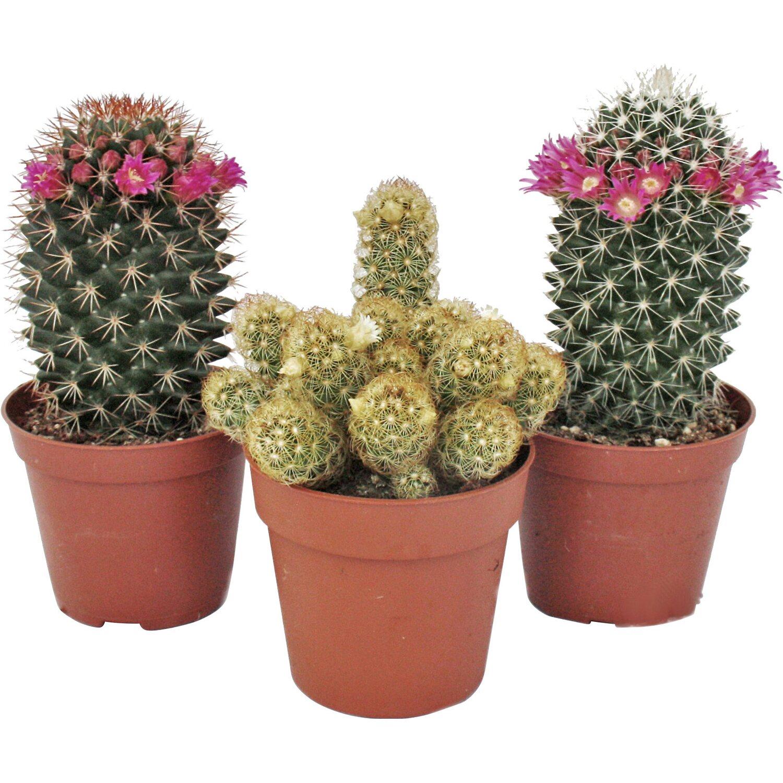 bl hende kakteen topf ca 8 5 cm cactus kaufen bei obi. Black Bedroom Furniture Sets. Home Design Ideas