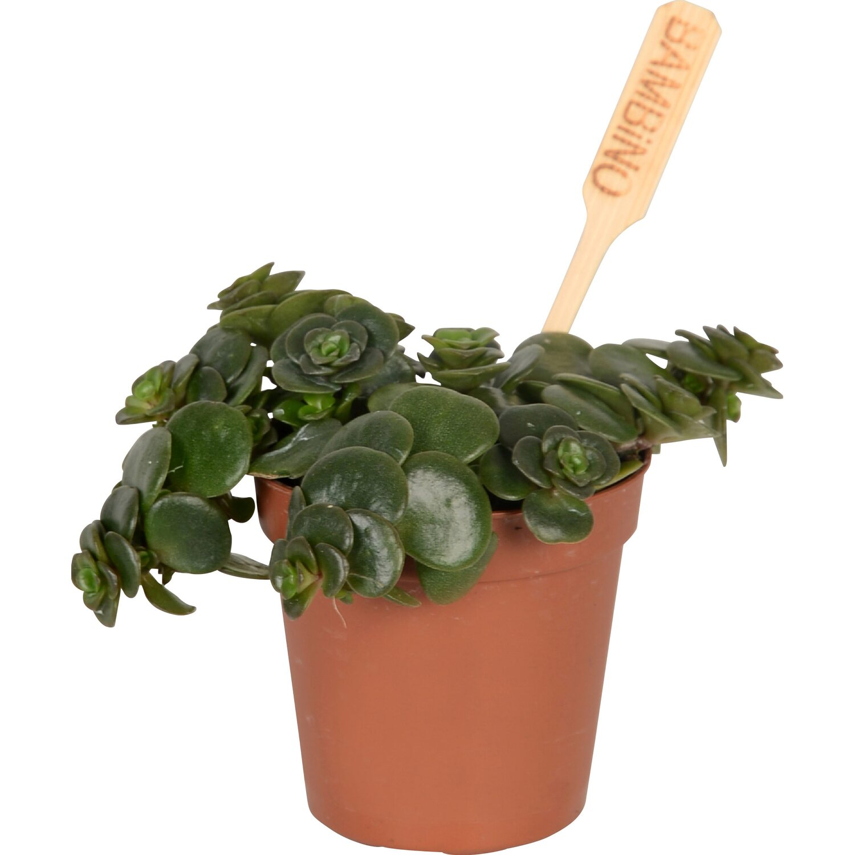 Vendita Piante Grasse On Line Of Fettpflanzen Mini Mix Topf Ca 6 Cm Kaufen Bei Obi