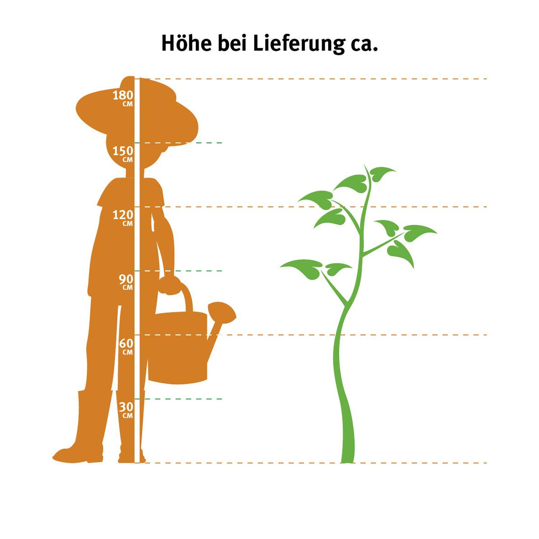 lebensbaum smaragd h he ca 120 140 cm topf ca 30 l thuja kaufen bei obi. Black Bedroom Furniture Sets. Home Design Ideas