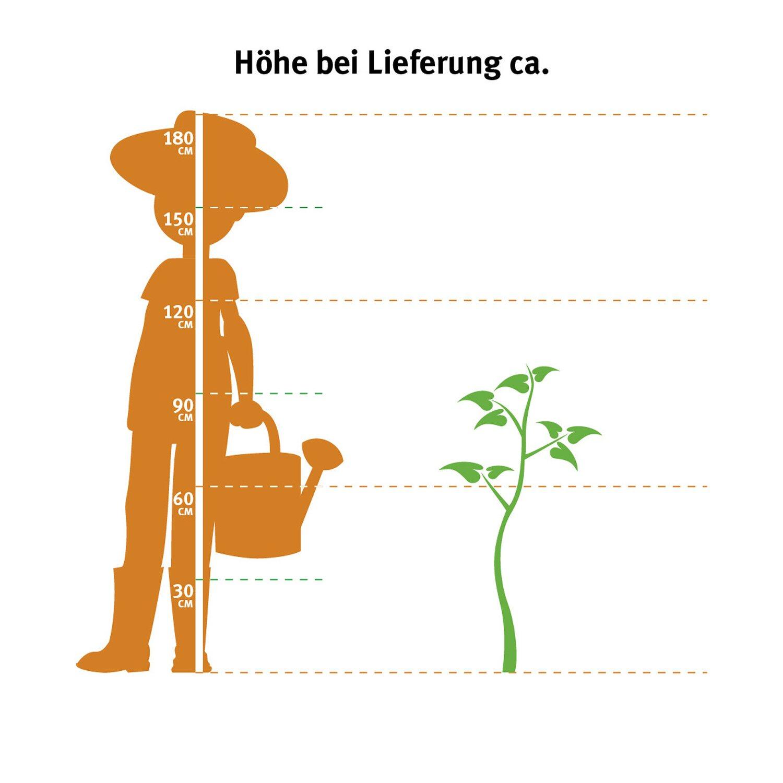 obi kirschlorbeer caucasica h he ca 80 100 cm topf ca 7 5 l prunus kaufen bei obi. Black Bedroom Furniture Sets. Home Design Ideas