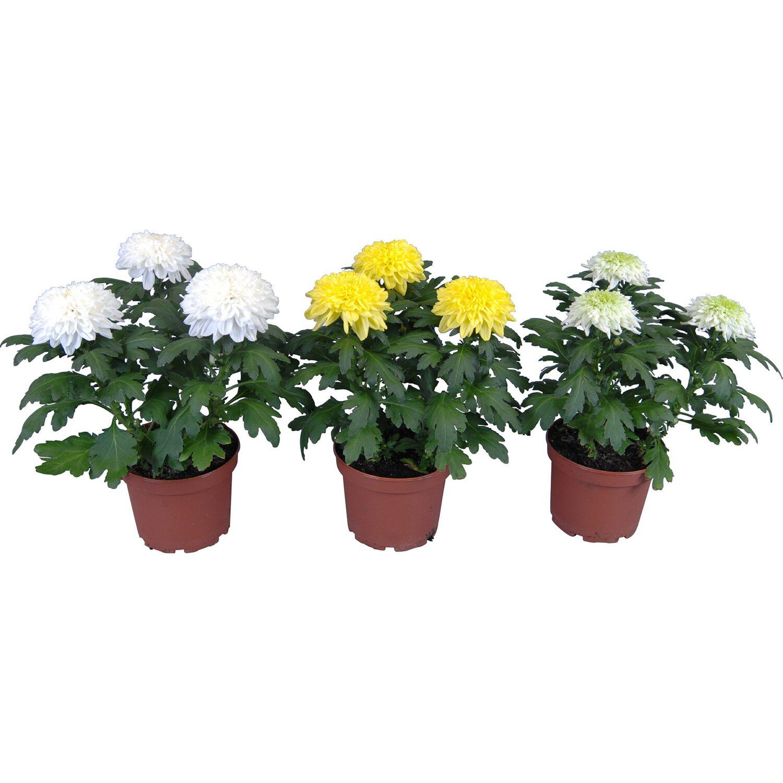 chrysantheme nova zembla mix topf ca 13 cm chrysanthemum kaufen bei obi. Black Bedroom Furniture Sets. Home Design Ideas
